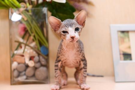 tabby sphinx kitten, bald cat, small baby cat toddler