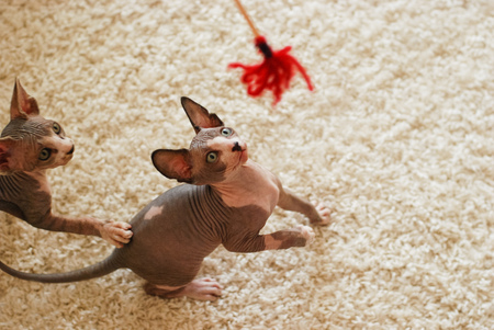 the kittens canadian sphinx. and hairless cats play. Stock Photo