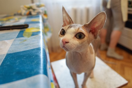 impudent pet Sphynx cat stands on a chair in the kitchen and looks at the table
