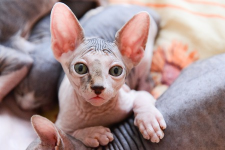 portrait of a bald cat sphinx indoors. pet with smooth skin. unusual animal 免版税图像