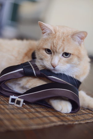 cat in a mens tie with cufflinks lying in the room