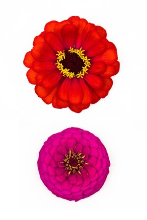 pink and red head zinnia elegans flower isolated on white background