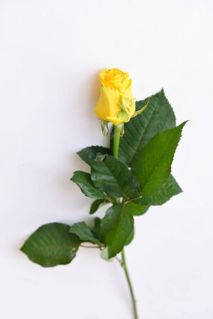 fresh yellow rose alone on an isolated white background for a bouquet composition design