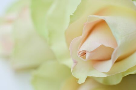 delicate white rosebuds closeup texture of the petals of a festive bouquet background 写真素材