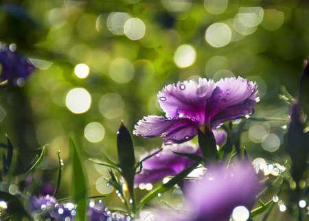 purple flowers of carnation in sunshine beam lighting background with beautiful bokeh.