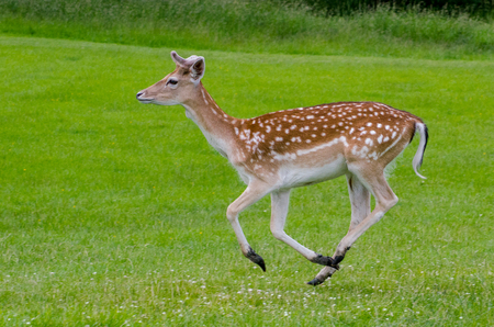 A side view of a fallow deer as it runs on the grass in the meadow