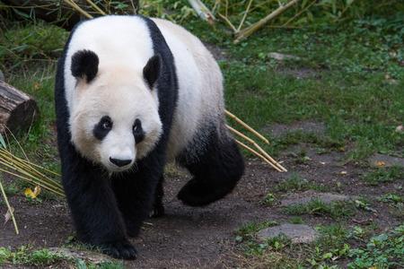 A female panda sits eating bamboo