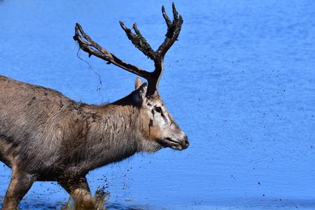 Père David's deer wading through blue water