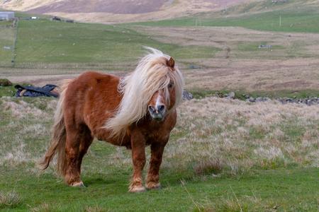 A lone Shetland Pony
