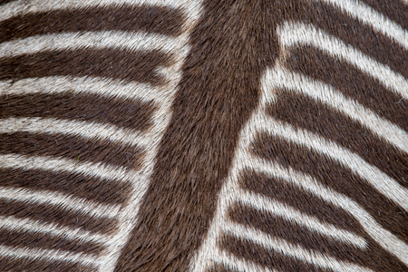 The back of a Zebra. Taken from above, this is a view of the back of a zebra. I always assumed they were black so I was really surprised to see this one brown and white!