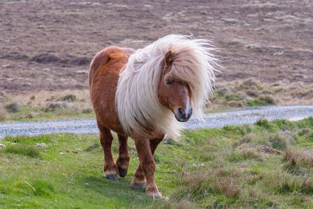 A lone Shetland Pony walking on grass near a singletrack road on a Scottish Moor on the Shetland Islands