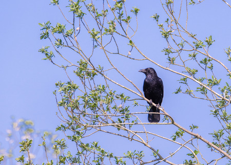 A carrion crow perches on a tree branch under a blue sky, looking to the left of the frame Stock Photo