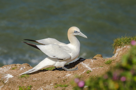 A large gannet on the ground during nesting season Stock Photo