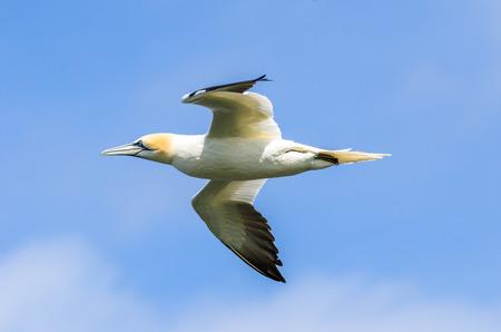 A large gannet in flight