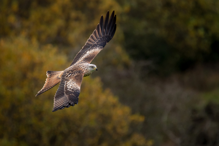 A Red Kite flying in Dumfriesshire, Scotland, in Autumn 2018.