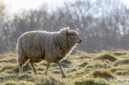 A common british sheep in early morning light in March 2015.