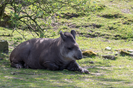 A Brazilian Tapir relaxes in the shade of a tree on a sunny day.