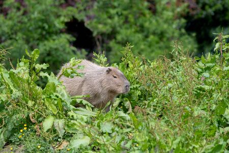 A solo Capybara in tall grass and shrubbery.