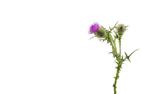 A large isolated Thistle with stem and leaves weighted to the right with room for copy text on the left.