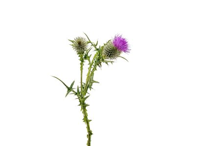 A large isolated Thistle with stem and leaves weighted to the centre of the frame with room for copy text on the left and the right.
