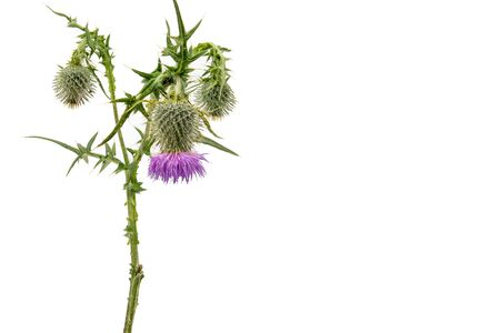 A large isolated Thistle with stem and leaves weighted to the left with room for copy text on the right.