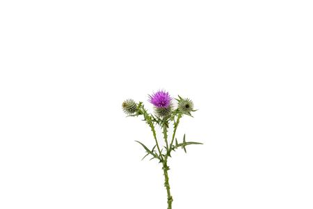 A small isolated Thistle with stem and leaves weighted to the centre of the frame with room for copy text on the left and the right. Stockfoto