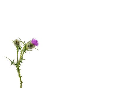 A small isolated Thistle with stem and leaves weighted to the left with room for copy text on the right.