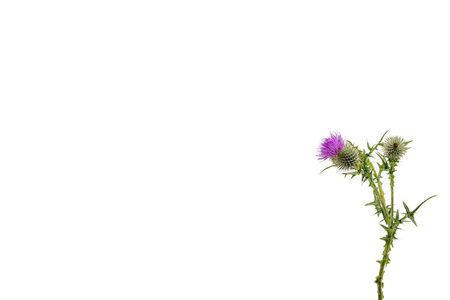 A small isolated Thistle with stem and leaves weighted to the right with room for copy text on the left. Stockfoto