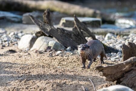 A solitary otter runs across some sand. 写真素材