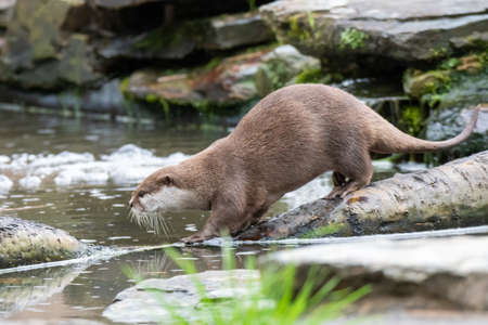 A solitary otter runs across a log floating on a body of water 写真素材