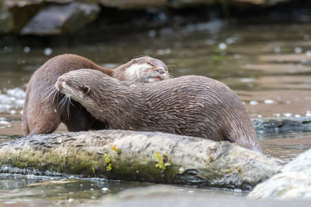 A pair of otters playing in the water