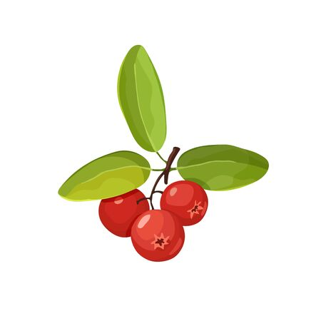 Cranberry vector illustration. Red wild berries isolated on white background. Illustration