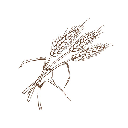 A Vector illustration of wheat spike isolated on white background.