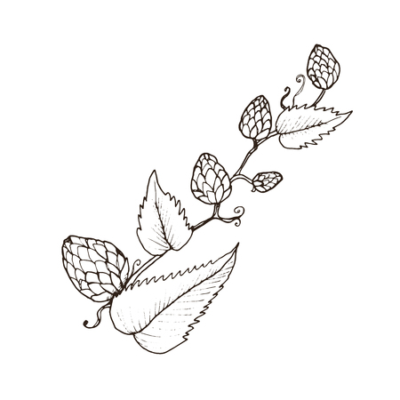 Hand drawn beer hop branch isolated on white background. Hop cone sketch vector illustration.