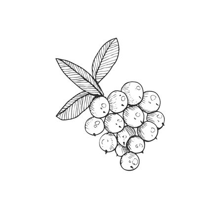 Cranberry vector illustration. Wild berries sketch isolated on white background. Illustration