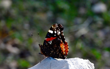 admiral: Red butterfly admiral on the rock