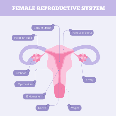 Female reproductive system flat vector info graphic. Human anatomy including fallopian tube Ovary Fimbriae Cervix Vagina Myometrium and body of uterus with graphic element