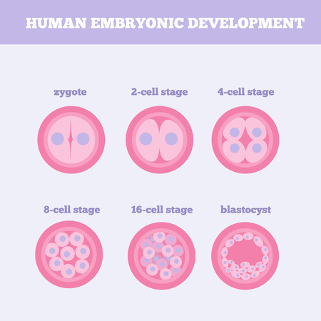 developmental biology: Fertilized egg development design element with zygote. Early human embryo stage