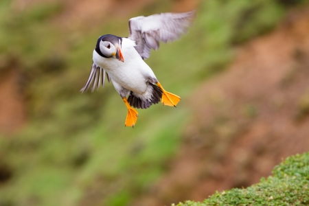skomer island: A Puffin on final approach to landing