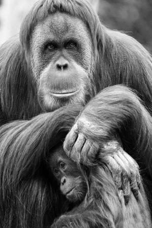 母親と赤ちゃんオランウータン