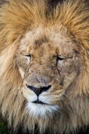 ライオンのポートレート、クローズ アップ