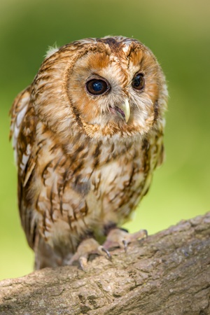 A portrait of a Tawny Owl on a perch photo