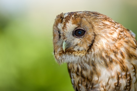 Close up portarit of a Tawny Owl photo