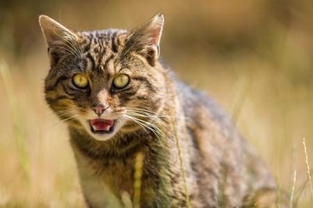 Portrait of a Scottish Wildcat