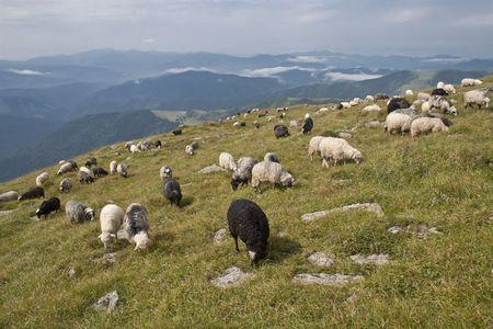 Sheep on highland