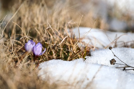 First spring flower crocus rising from the snow