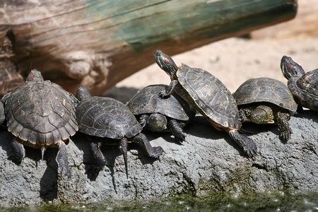 Group of red-eared slider turtles sitting on a stone   Stock Photo
