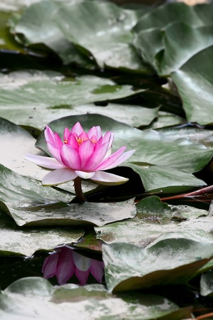 Purple water lilly with a leafs in the pond photo