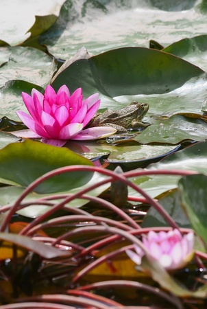 Purple water lilly with a leafs and frog in the pond photo