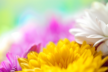 Mums flowers colorful macro background Stock Photo